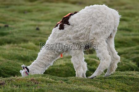 alpaca, vicugna, pacos, grazing, in, a - 28257945