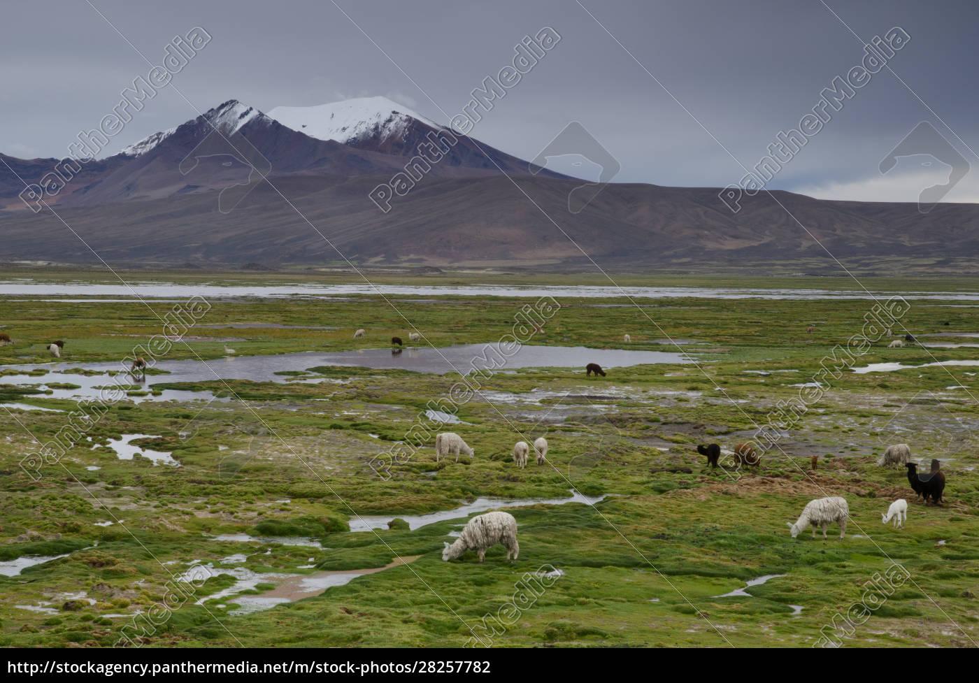 alpacas, vicugna, pacos, grazing, in, a - 28257782