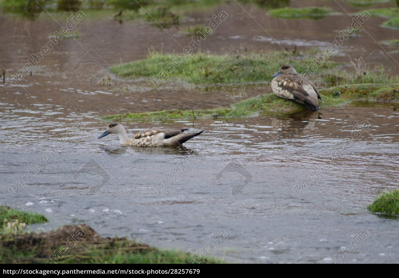 andean, crested, ducks, lophonetta, specularioides, alticola - 28257679