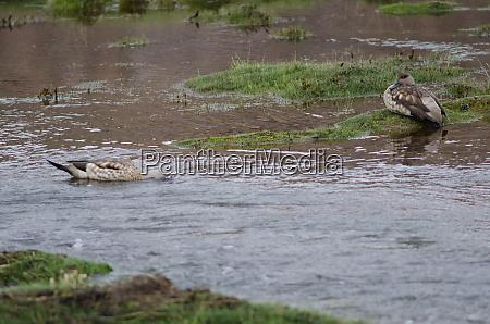 andean, crested, ducks, lophonetta, specularioides, alticola - 28257681