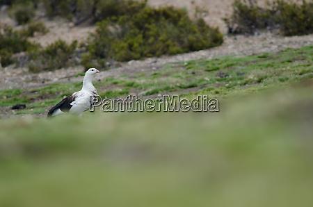 andean, goose, chloephaga, melanoptera, in, lauca - 28257977