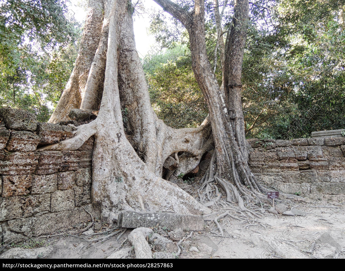 angkor, wat, tree, roots, into, the - 28257863