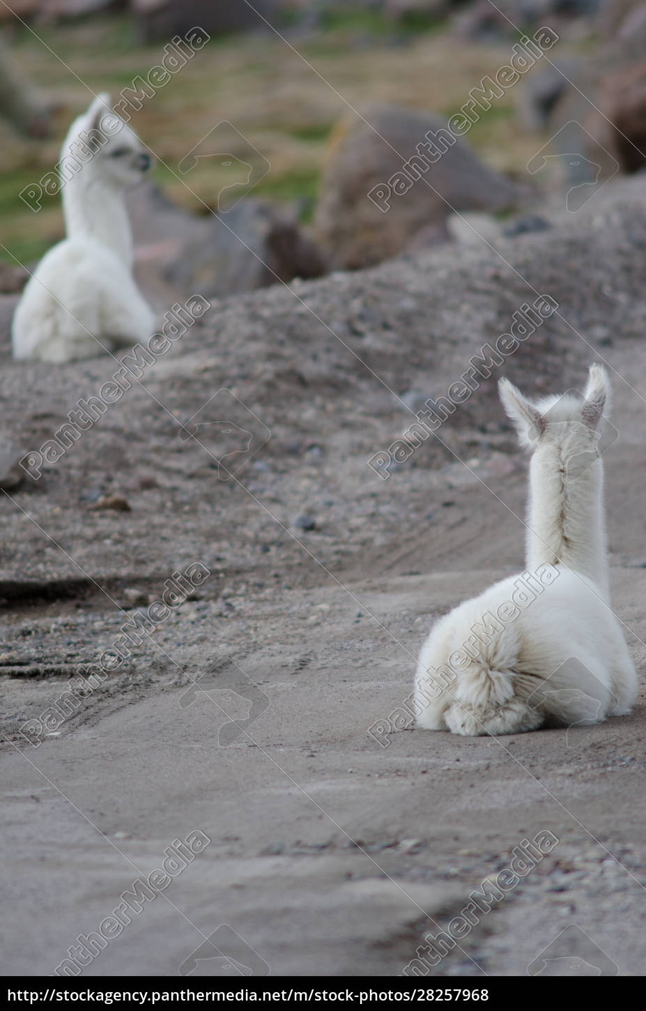 back, view, of, young, alpacas, vicugna - 28257968