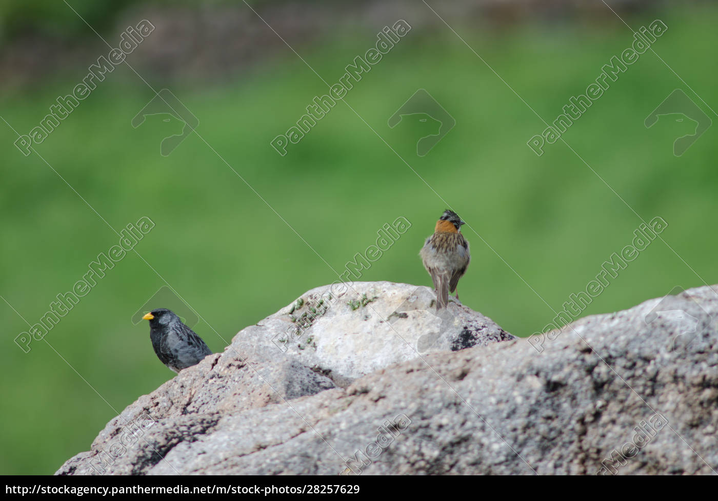 band-tailed, sierra, finch, and, rufous-collared, sparrow - 28257629