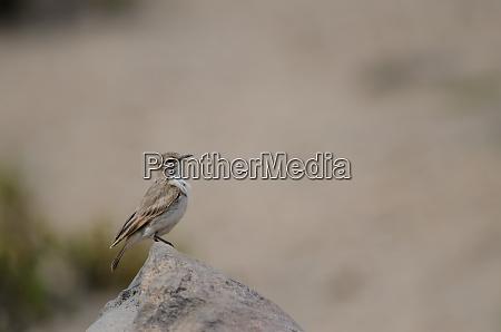 bird, on, a, rock, in, lauca - 28257868