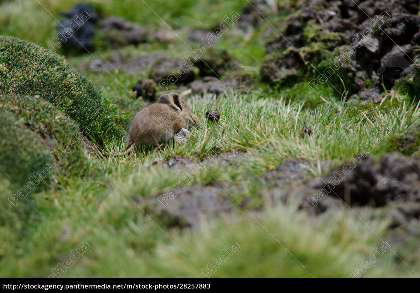 bolivian, big-eared, mouse, auliscomys, boliviensis, grazing - 28257883