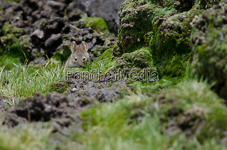 bolivian, big-eared, mouse, auliscomys, boliviensis, in - 28257887