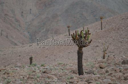 cactus, browningia, candelaris, in, the, arica - 28257725