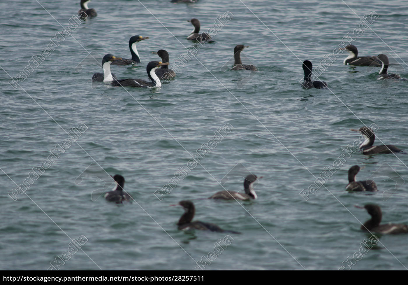imperial, shags, in, the, coast, of - 28257511