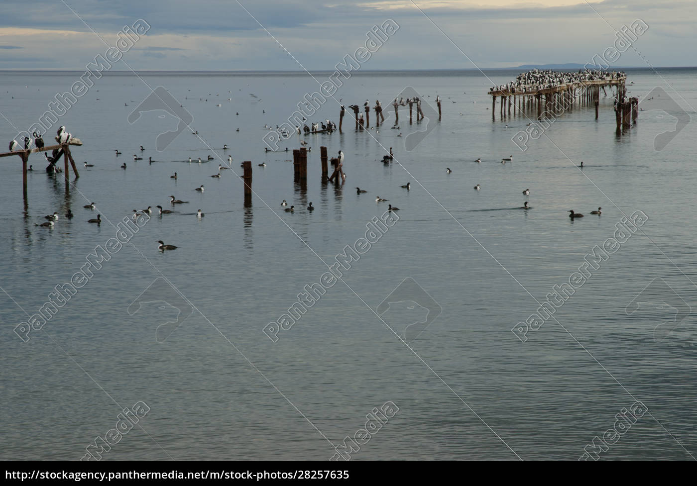 imperial, shags, in, the, coast, of - 28257635