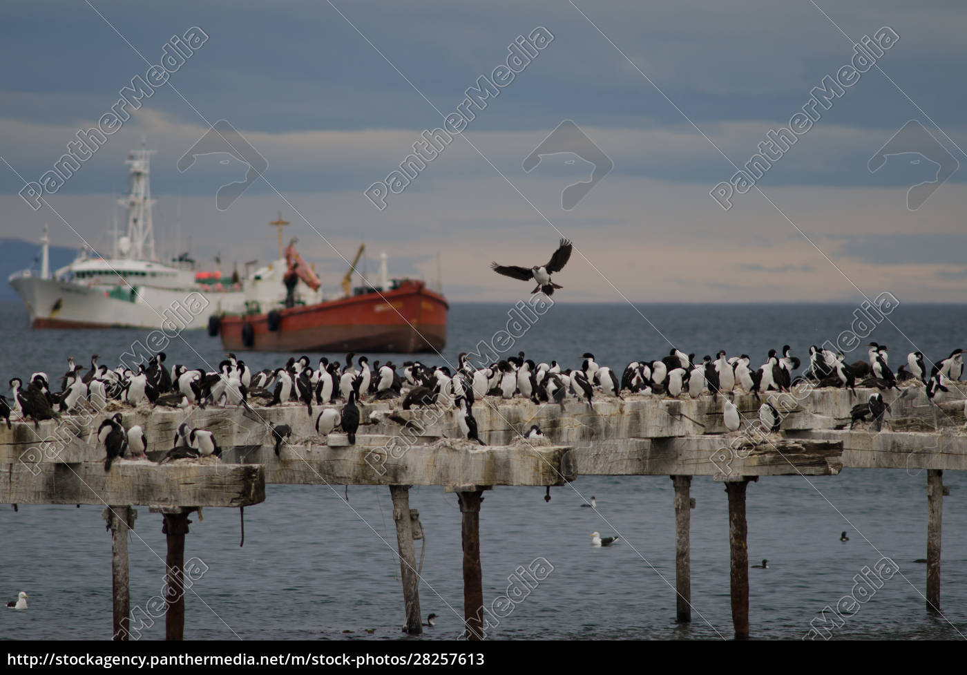 imperial, shags, leucocarbo, atriceps, in, the - 28257613