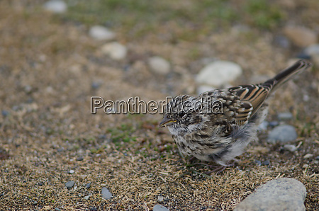juvenile, rufous-collared, sparrow, in, the, otway - 28257462