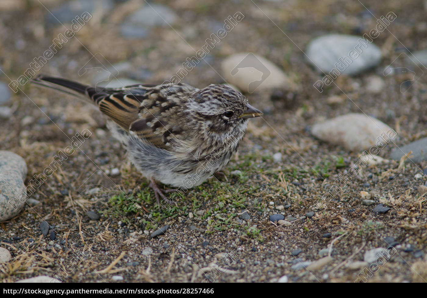 juvenile, rufous-collared, sparrow, in, the, otway - 28257466