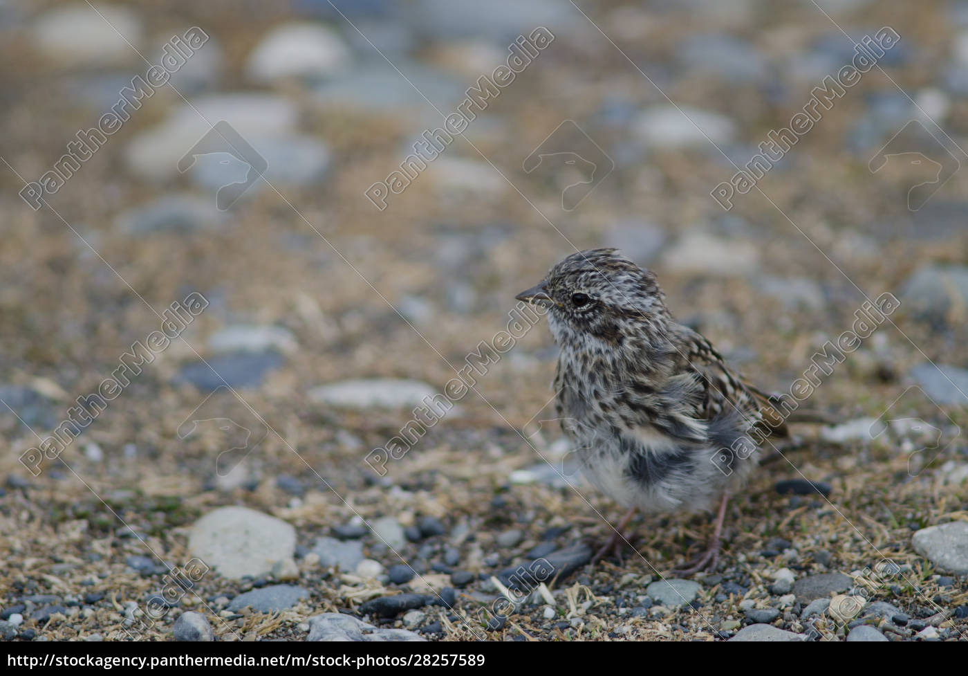 juvenile, rufous-collared, sparrow, in, the, otway - 28257589