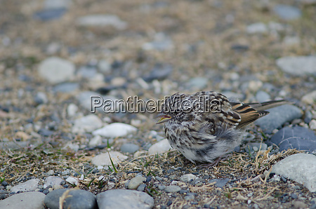 juvenile, rufous-collared, sparrow, in, the, otway - 28257590