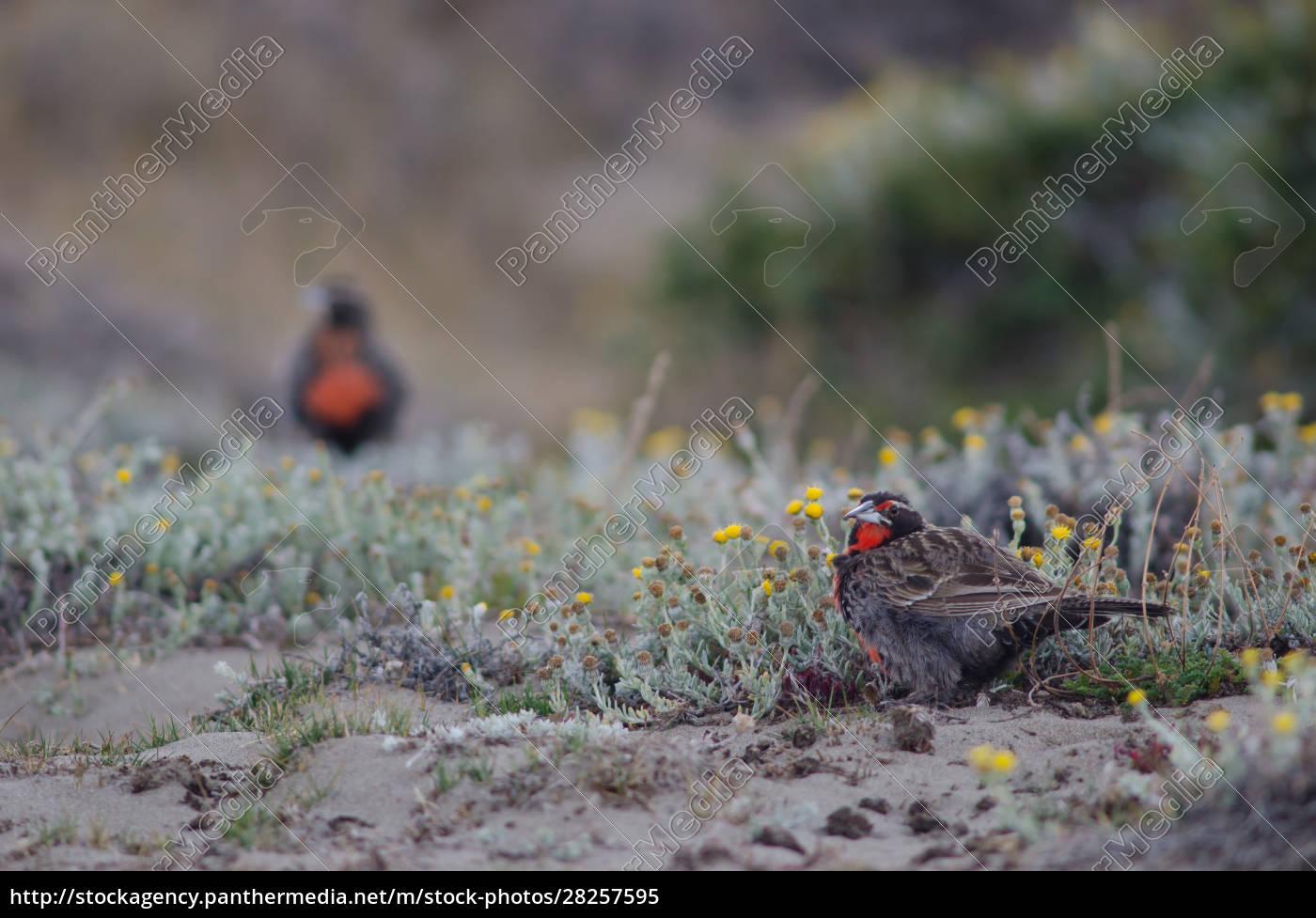 long-tailed, meadowlarks, leistes, loyca, on, the - 28257595