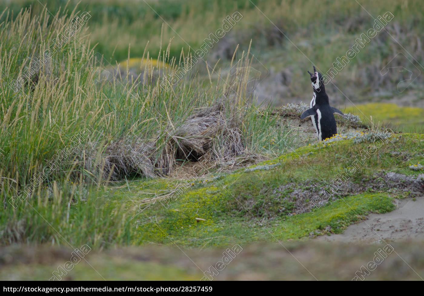magellanic, penguin, in, the, otway, sound - 28257459