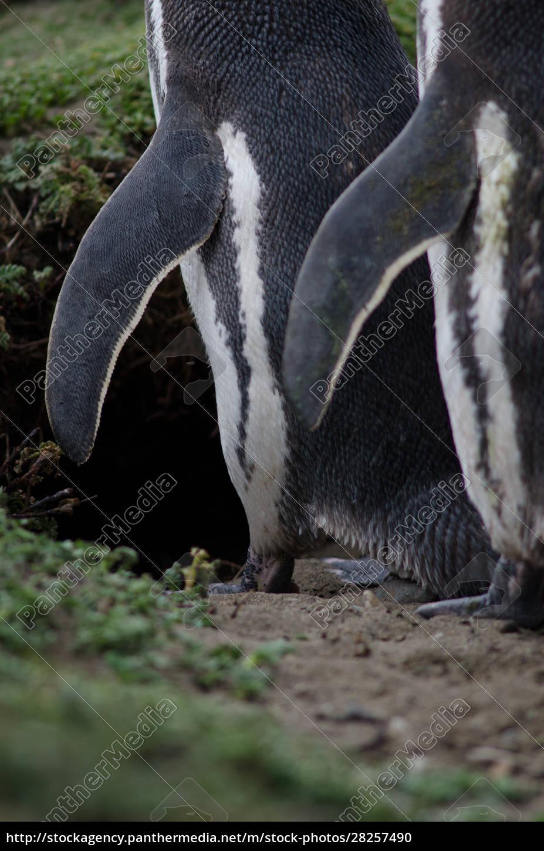 magellanic, penguin, in, the, otway, sound - 28257490