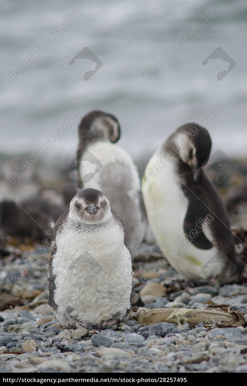 magellanic, penguins, in, the, otway, sound - 28257495