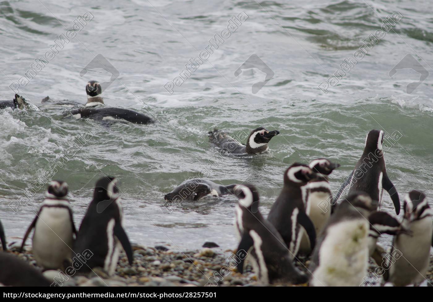 magellanic, penguins, in, the, otway, sound - 28257501