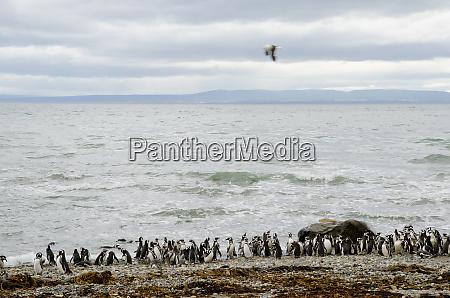 magellanic, penguins, in, the, otway, sound - 28257503