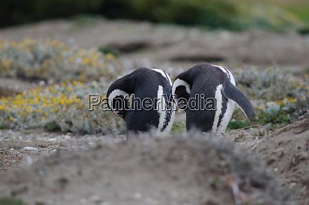 magellanic, penguins, spheniscus, magellanicus, preening, in - 28257470