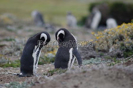 magellanic, penguins, spheniscus, magellanicus, preening, in - 28257472