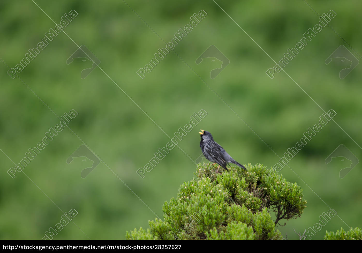 male, band-tailed, sierra, finch, phrygilus, alaudinus - 28257627