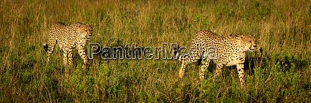 panorama, of, two, male, cheetah, crossing - 28257440
