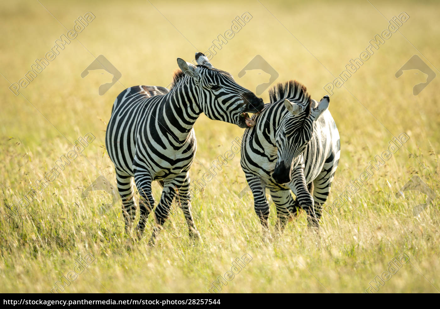 plains, zebra, bites, another, in, tall - 28257544