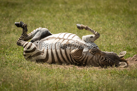 plains, zebra, enjoying, dust, bath, on - 28257552