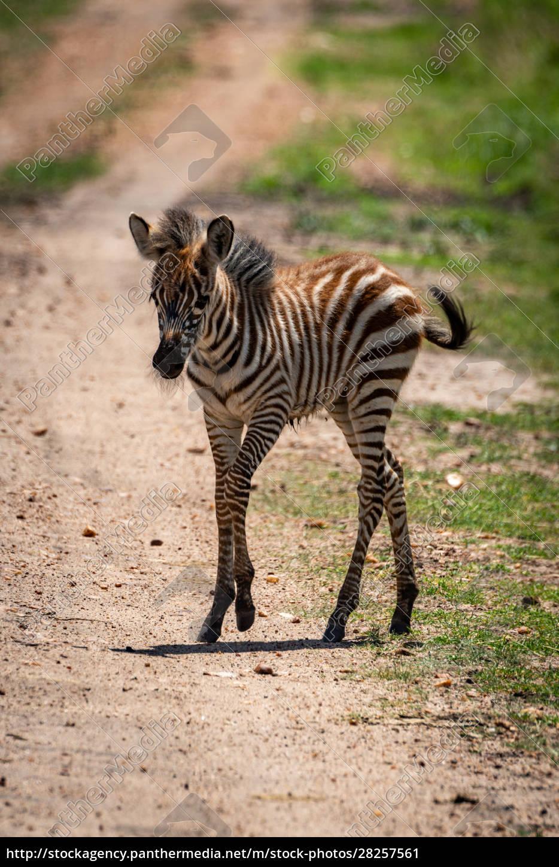 plains, zebra, foal, crosses, track, in - 28257561