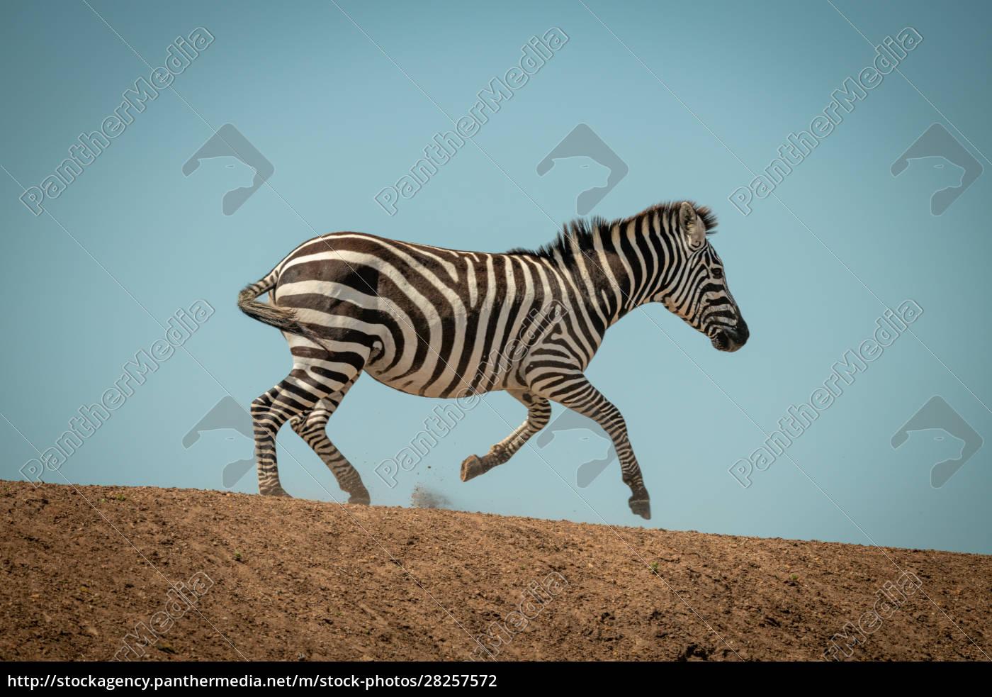plains, zebra, gallops, along, ridge, in - 28257572