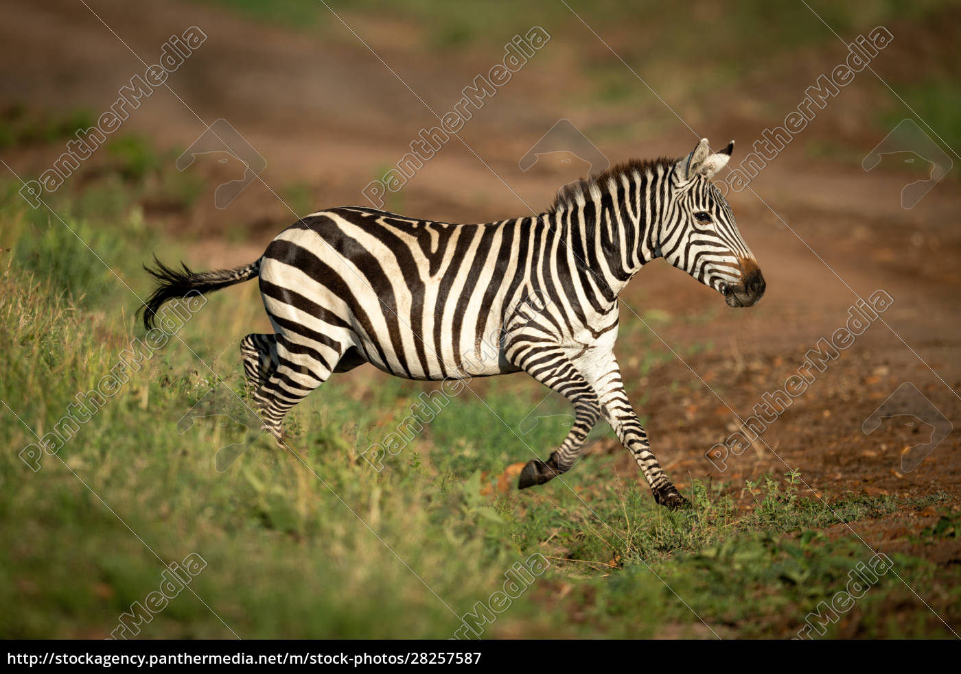plains, zebra, jumps, over, ditch, onto - 28257587