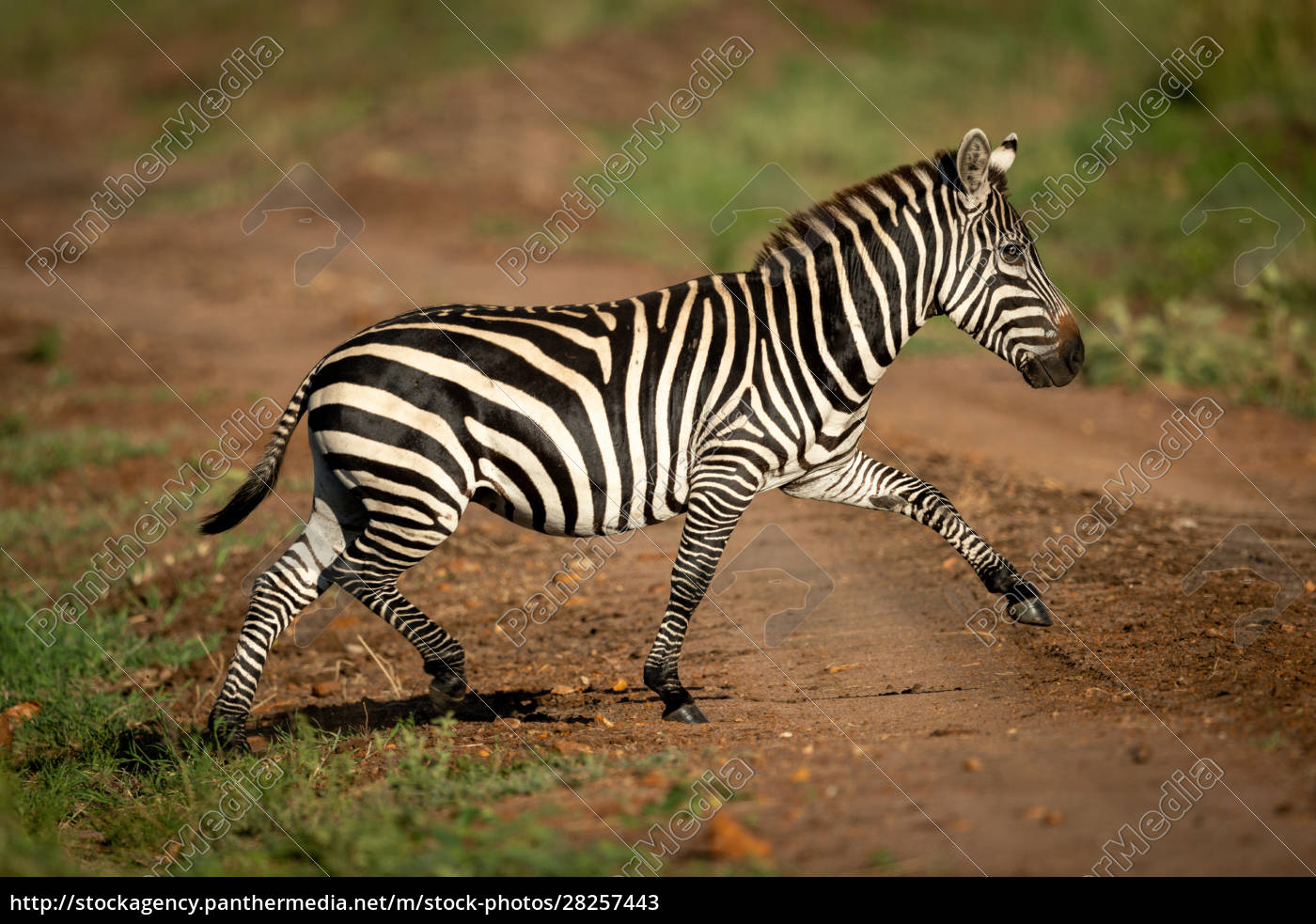 plains, zebra, lifts, hoof, crossing, over - 28257443