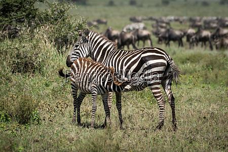 plains, zebra, nursing, foal, by, great - 28257445