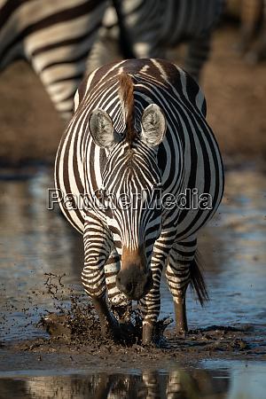 plains, zebra, splashes, through, puddle, towards - 28257447