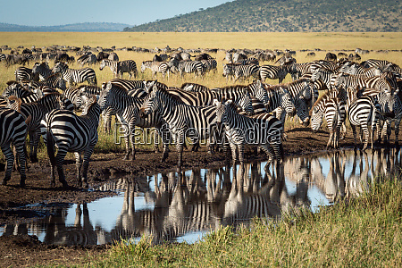 plains, zebra, stand, around, puddle, on - 28257469