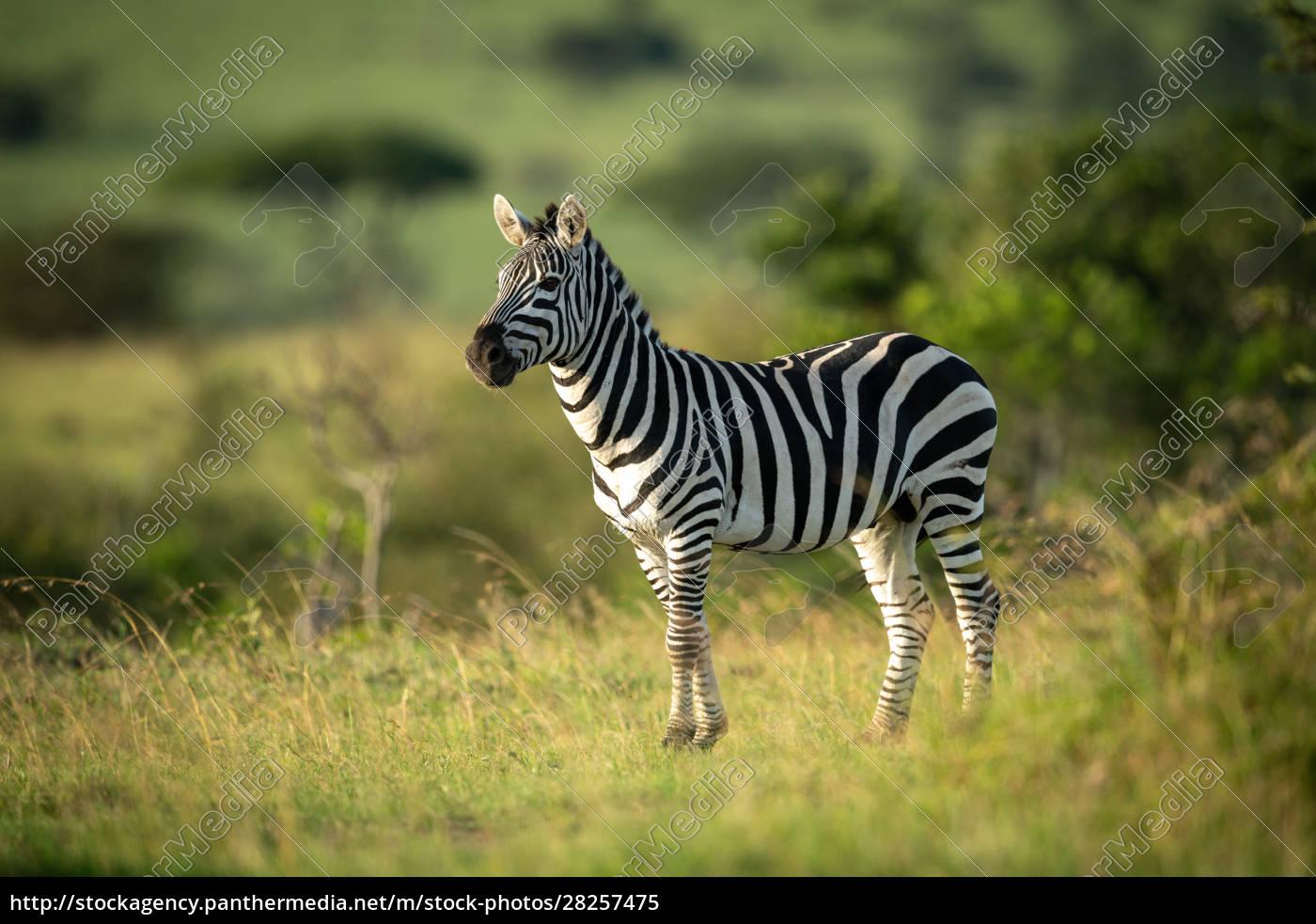 plains, zebra, stands, eyeing, camera, in - 28257475