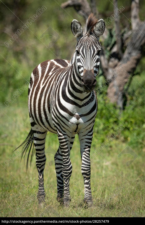 plains, zebra, stands, eyeing, camera, near - 28257479