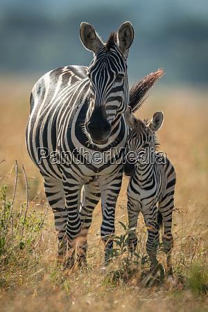 plains, zebra, stands, facing, camera, with - 28257659