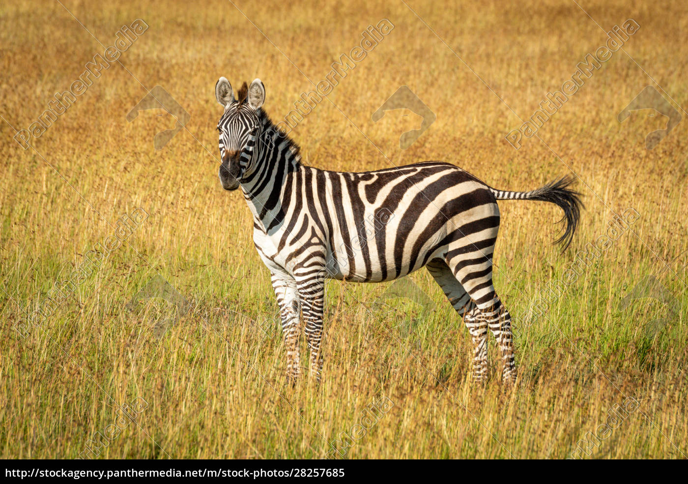 plains, zebra, stands, flicking, tail, in - 28257685