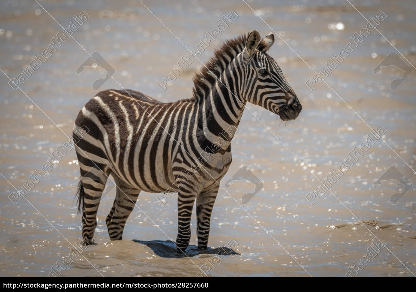plains, zebra, stands, in, muddy, shallow - 28257660