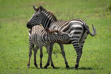 plains, zebra, stands, nursing, foal, in - 28257661