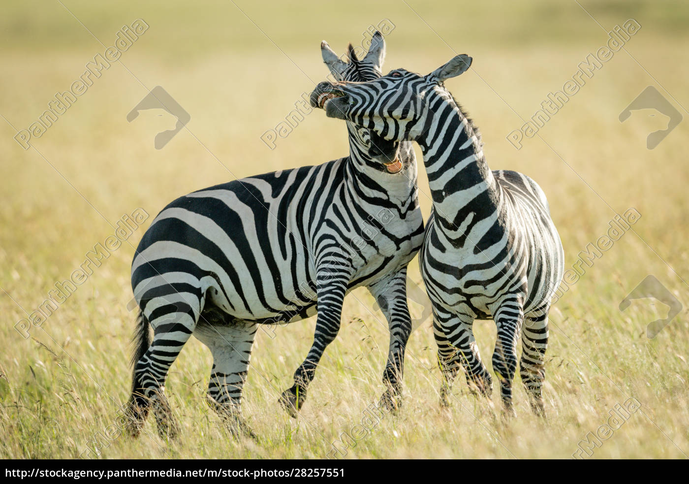 plains, zebras, play, fight, in, long - 28257551