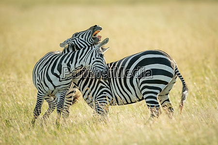 plains, zebras, play, fighting, in, long - 28257555