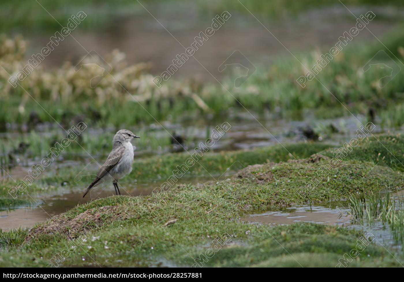 puna, ground, tyrant, muscisaxicola, juninensis, in - 28257881