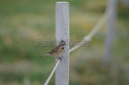 rufous-collared, sparrow, zonotrichia, capensis, perched, on - 28257458