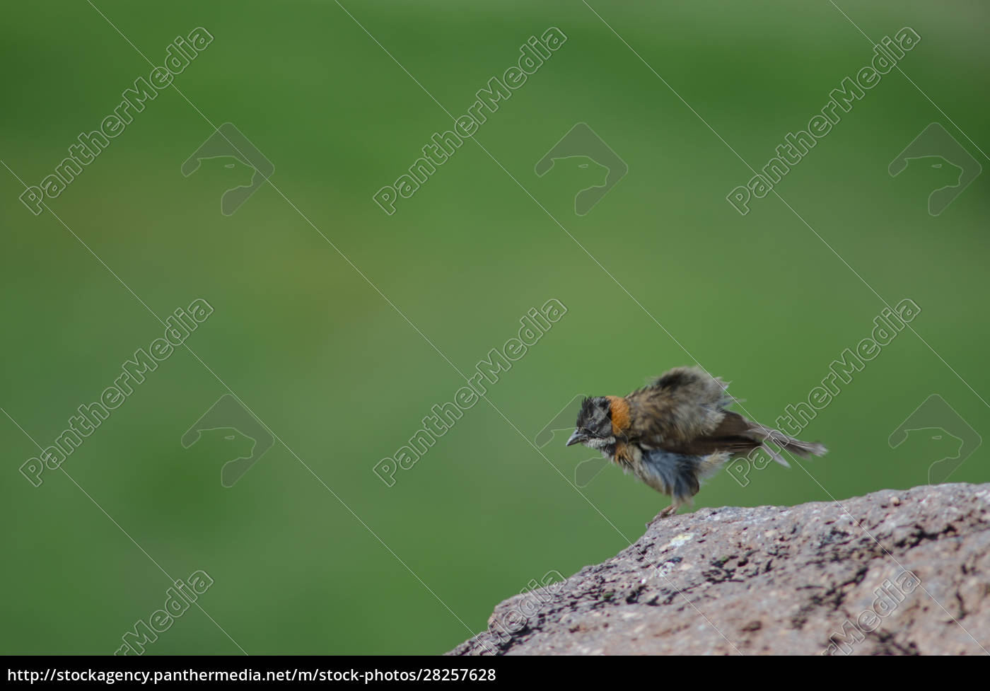rufous-collared, sparrow, zonotrichia, capensis, shaking, its - 28257628