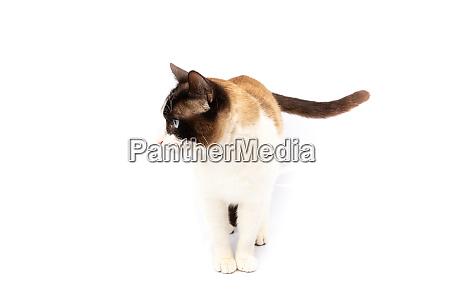 siamese, and, ragdoll, cross, cat, walking - 28257605